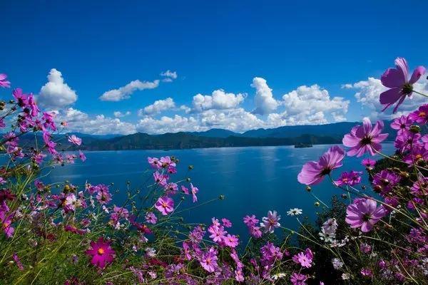 格桑花——开在川藏线租车自驾游途中的幸福之花